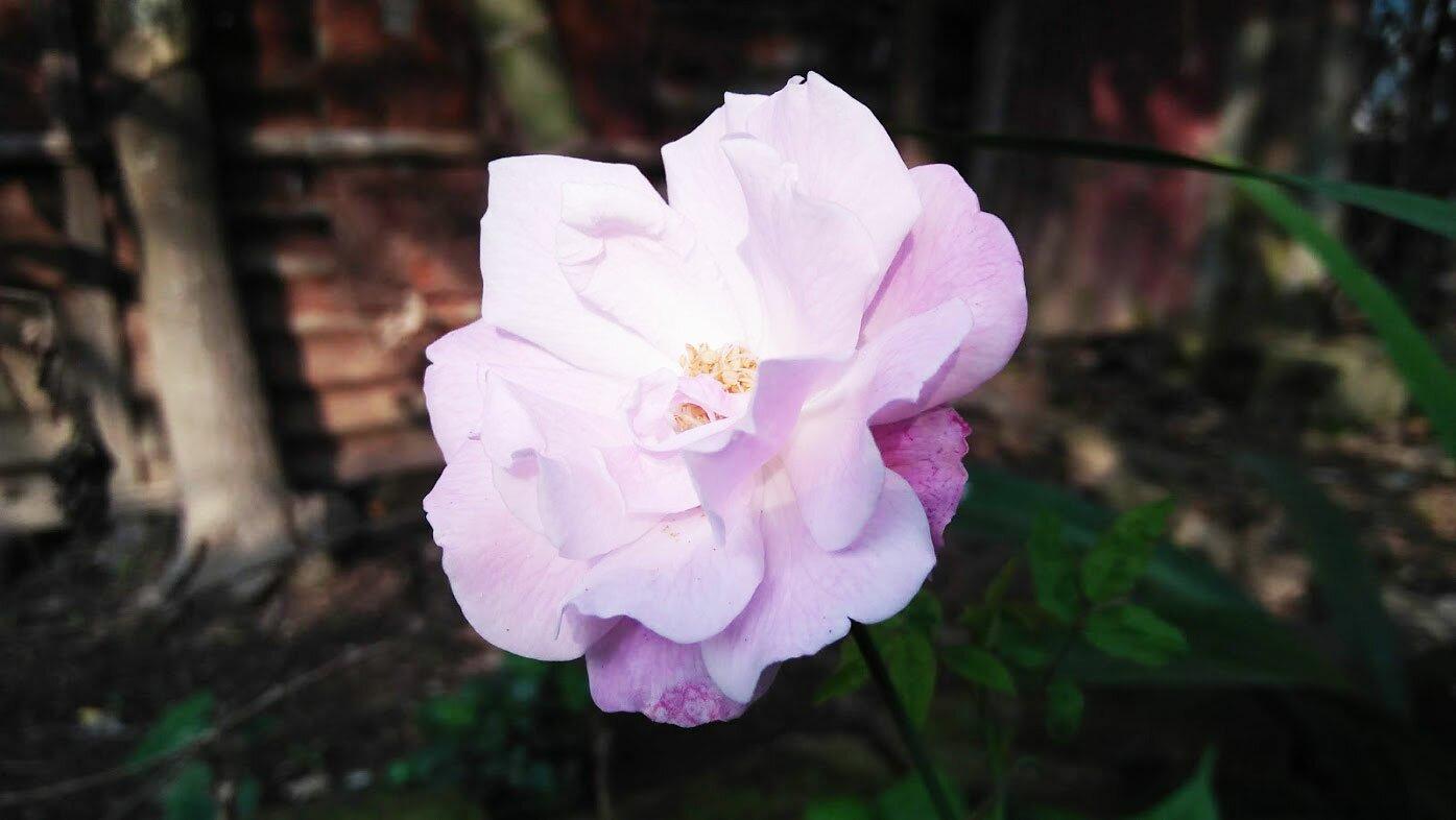 Bangladeshi Rose